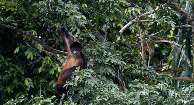 Macaco-aranha-de-Geoffroy também deu o ar da graça na floresta