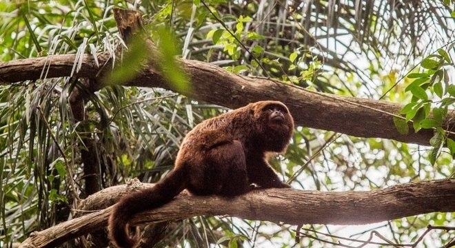 O macaco bugio é uma das principais vítimas da febre amarela