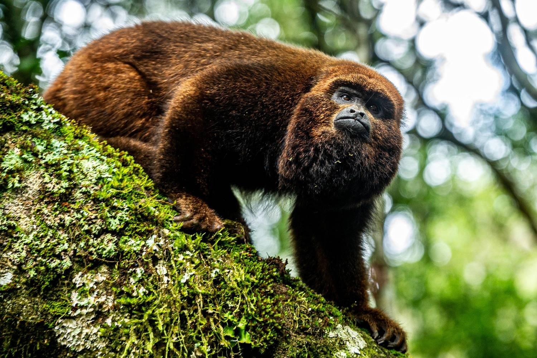 Macaco bugio morreu de febre amarela em Porto Alegre, segundo exames da Fiocruz