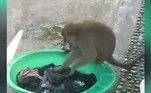 Ayu Sarasyani deixou um recipiente com roupas de molho em sua casa, na Indonésia. Um dia normal de limpeza, se não aparecesse um macaco e começasse a lavar as roupas dela na mão