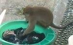 Pelas imagens, é possível ver que o primata aprendeu direitinho a arte de lavar as roupas na mão