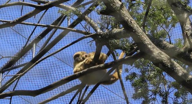 Pequeno macaco monocarvoeiro nasceu em meio à pandemia