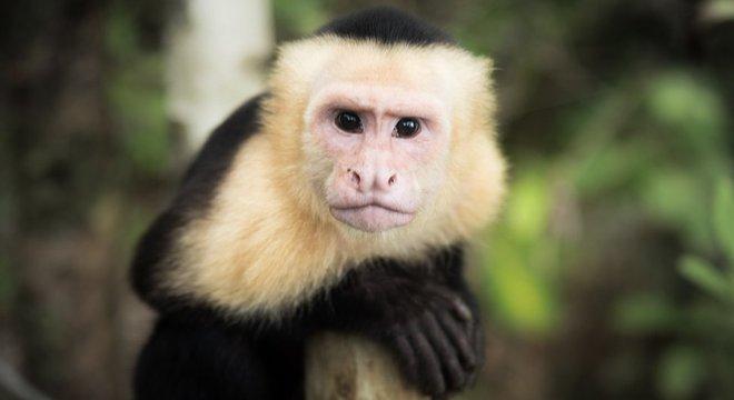 Espécies como macacos-prego podem diferenciar o certo do errado