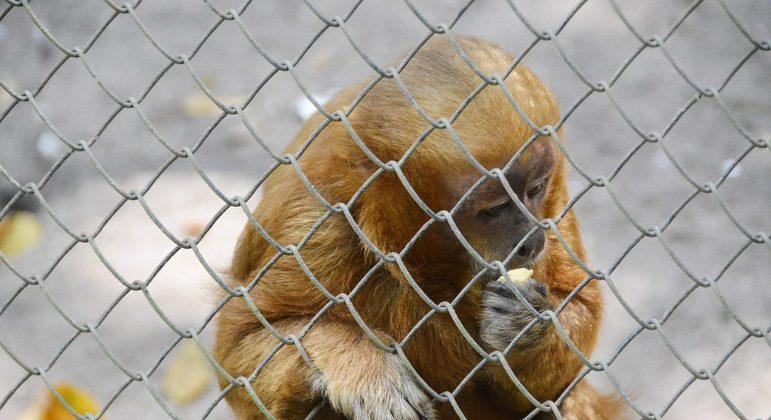 Macaco prego galego