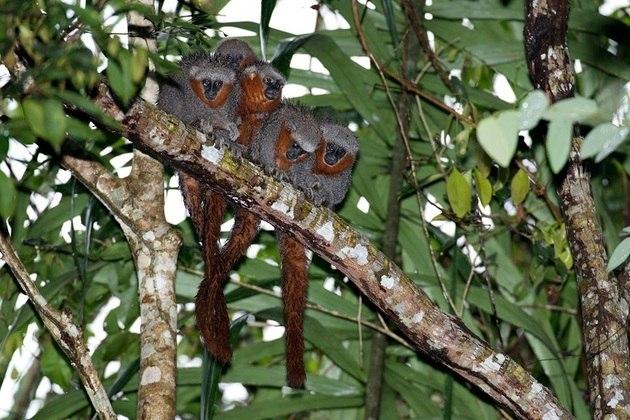 Segundo pesquisa recente da Economist Intelligence Unit, realizada a pedido da Rede WWF, esta conscientização está aumentando (na foto,o macaco-zogue-zogue)