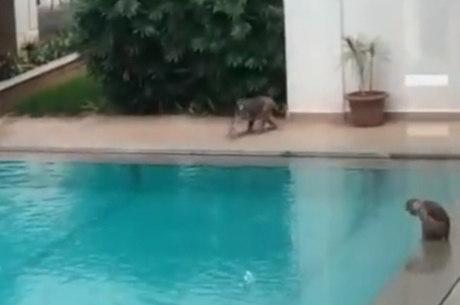Macacos aproveitaram piscina vazia em condomínio