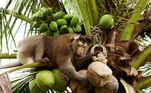 Em alguns casos, vídeos mostrando os maus-tratos de criadores são usados como prova. Mas produtores tailandeses afirmam que existem escolas que treinam os animais sem precisar sobrecarregá-los ou fazer uso da força. Os defensores do uso de animais afirmam que é mais seguro utilizar macacos do que humanos, uma vez que as chances de acidentes são quase zeroNo Japão, um trio de senhoras se tornou uma guarda para evitar que macacos destruam plantações locais. Veja a seguir!