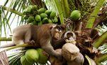 Uma rede varejista dos EUA anunciou que irá parar de comercializar leite de coco da marca Chaokoh por uma razão bem específica: macacos escravizados são usados para coletar a matéria-prima do produto