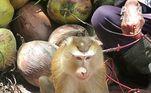 O motivo é simples de entender: macacos bem treinados podem pegar 1.600 cocos por dia, muito mais que os cerca de 100 que um humano consegue. Registros obtidos pela National Public Radio, dos EUA, apontam que os macacos colhem