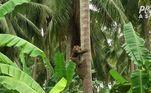 Segundo registros, a indústria de produtos de coco do país literalmente depende dos macacos. O mesmo se aplica, em volume menor, aos produtores de coco na Índia, Sri Lanka e MalásiaVALE O CLIQUE:Vendedora se veste de zumbi para vender roupas de gente morta