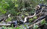 E o contra-ataque deu resultado! O trio de primatas conseguiu recuperar o jovem traumatizado das garras do réptil faminto
