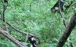 No entanto, segundos depois, o macho alfa do grupo e duas valentes fêmeas começaram a descer o sarrafo na jiboia desavisadaVale o clique:Cabeça de martelo! Verme gigante é confundido com cobra mutante