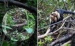 Um trio demacacos-pregos-de-cara-branca (Cebus capucinus) atacou ferozmente uma jiboia, que tentava se alimentar de um integrante do bandoLeia mais!Funcionário toma banho de leite em tanque de fábrica de laticínios