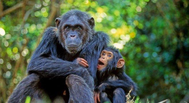 Demorou mais de um ano para Goodall chegar realmente perto de um chimpanzé
