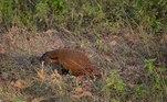 Os mangustos são relativamente pequenos, com no máximo 75 cm de comprimento e até 5 kg de peso