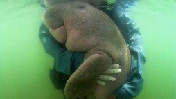 Dugongo, animal marinho 'primo' do peixe-boi, morre depois de engolir plástico (BBC NEWS BRASIL)