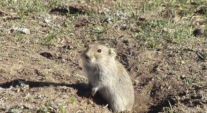 Autoridades pedem que população avise se virem marmotas doentes ou mortas