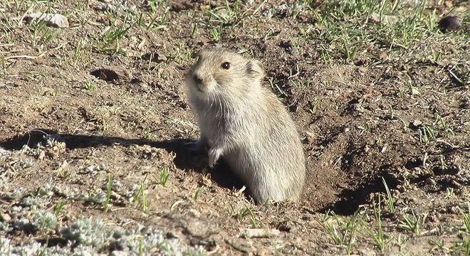 Irmãos contraíram peste bubônica após comerem carne de marmota