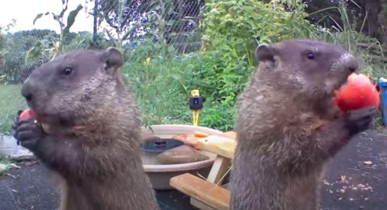 Marmotas comendo no quintal de fazendeiro faz sucesso na internet