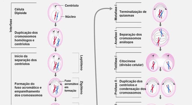 Meiose e as suas fases