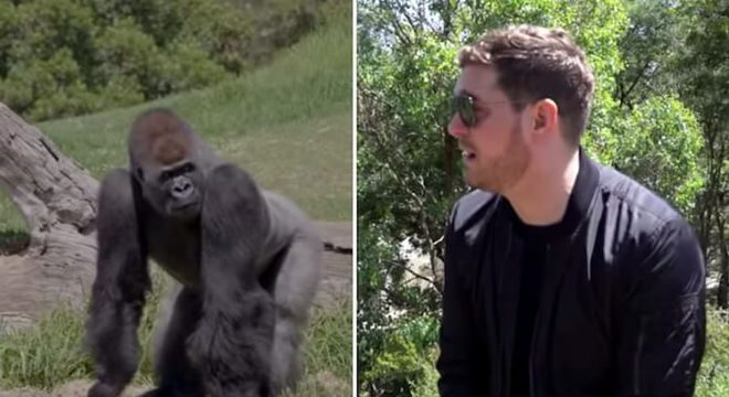"""Michael Bublé faz show para gorilas que """"relaxam"""" ouvindo suas músicas"""