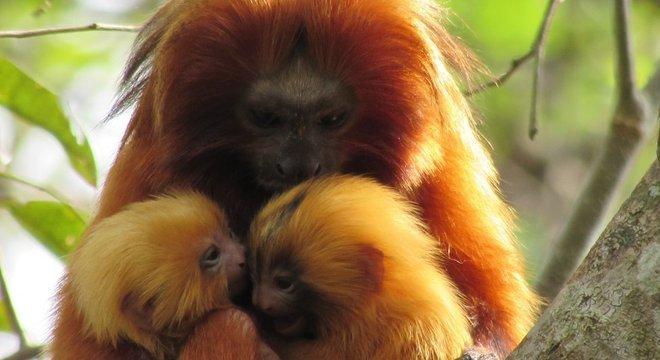 Há mais ou menos quatro décadas, mico-leão-dourado chegou próximo à extinção