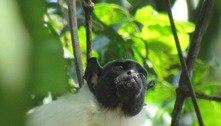 Primatas mudam de sotaque para se comunicar, revela estudo