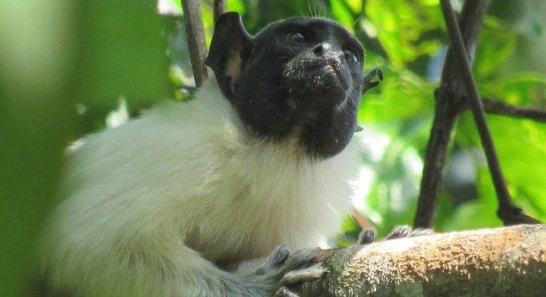 Estudo analisou 15 grupos de micos-roxos e micos-malhados