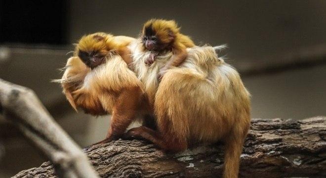 Família, atualmente, soma cinco micos