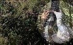 Uma simples mudança de trajeto colocou uma moradora de Sidney, na Austrália, diante de umaserpente penduradaem uma árvore, com a boca cheia de gambá