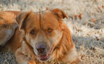 A mistura com um golden retriever só poderia resultar em um super cão