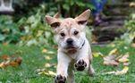 A mistura da raça com um pug resultou em um cachorro para lá de fofo, que deixa qualquer um com vontade de apertá-lo!
