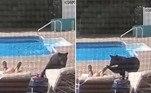 Um morador deGreenfield, em Massachusetts (EUA), acordou com um puxão de urso no pé após adormecer à beira da piscina