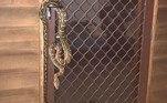 No entanto, possui uma mordida dolorosa,devido aos dentes curvos voltados para trásAinda na Austrália, outra serpente de grande porte foi encontrada enrolada em uma árvore de Natal. Veja a seguir!