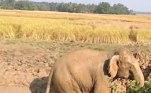 No vídeo, é possível ver ao menos três animais se revirando no meio da lama grossa, que quase cobre seus corpos por completo