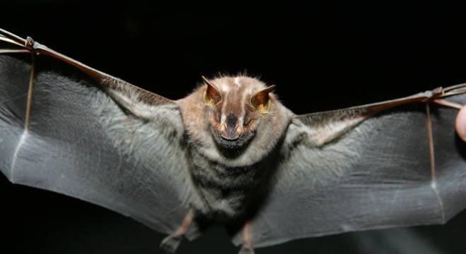 Em estudo com 1.066 morcegos em cavernas do Gabão, 18 apresentaram 7 variações do vírus