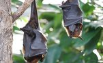 Morcego, coronavírus, covid-19, sars-cov