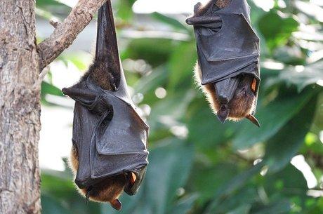 Cientistas buscam 'primo' do Sars-Cov-2 nos morcegos