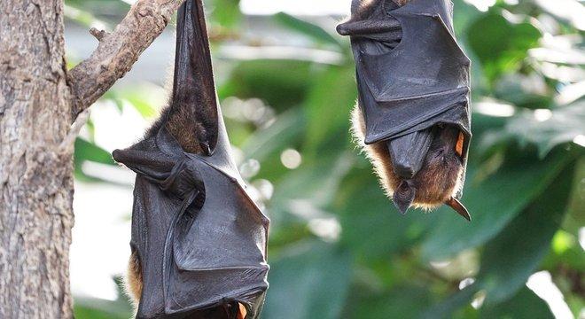 Morcegos são principais transmissores do vírus da raiva