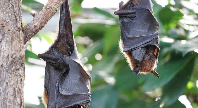 Morcegos no Laos têm cepa parecida com a do Sars-Cov-2