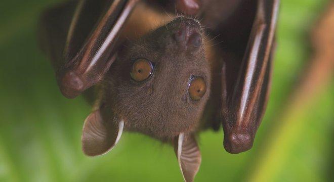 Especialistas chegaram a lançar uma campanha, Don't Blame Bats ('Não culpe os morcegos'), para dissipar medos infundados e mitos sobre estes animais