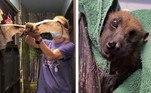 Este é Statler, ummorcego gigante que é também considerado o mais velho do mundo em cativeiro. Com 33 anos, ele já está idoso e recentemente se tornou a estrela de um vídeo publicado peloBat World Sanctuary (Santuário Mundial de Morcegos, em português), no Texas