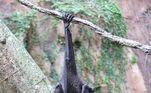 Espécie Pteropus, morcego que transmite vírus Nipah
