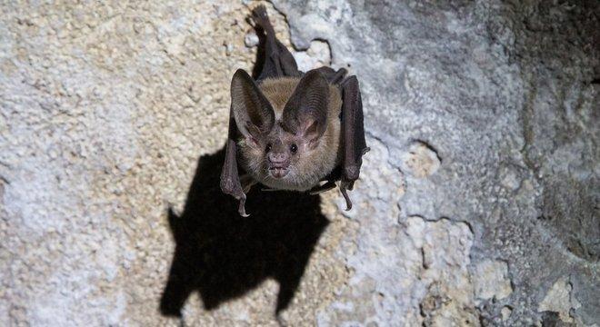 Morcegos-vampiros são animais sociais que gostam de cuidar uns dos outros e compartilhar comida