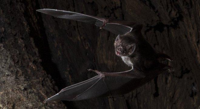 Morcegos-vampiros são os únicos mamíferos que se alimentam inteiramente de sangue