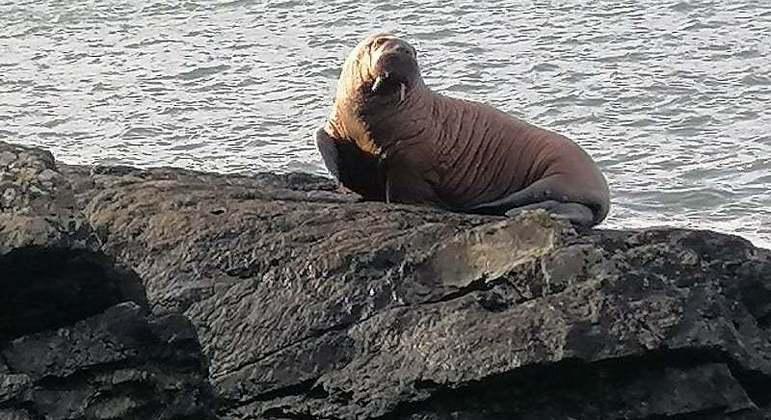 A morsa acima, endêmica do Ártico, foi encontrada em uma praia da Irlanda