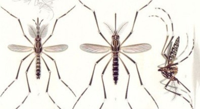 Dengue, zika e febre amarela são causados por Flavivírus