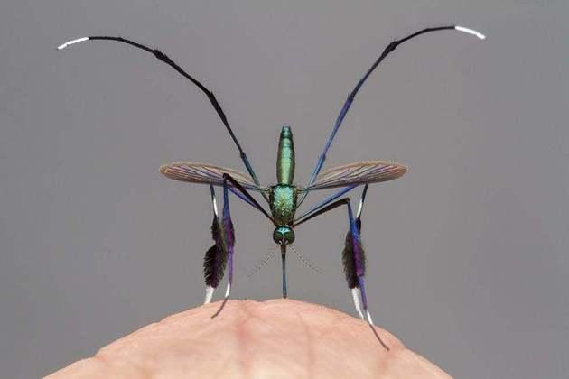 Essa é a espécieSabethes cyaneus, que vive nas florestas tropicais da América do Sul. Além da beleza, é uma espécie considerada