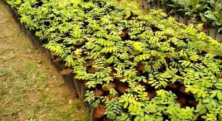 Mudas para replantio de árvores como parte do Projeto Produtor de Água