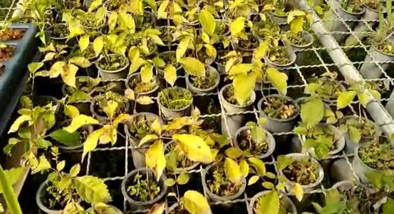 Mudas que serão plantadas para aumentar a produção de água na Bacia do Pipiripau, em Planaltina